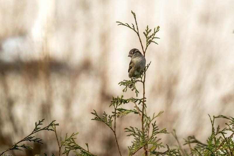 vrabac priroda